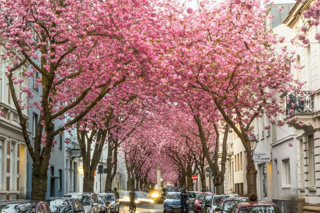 Wann findet die Kirschblüte in Bonn statt?