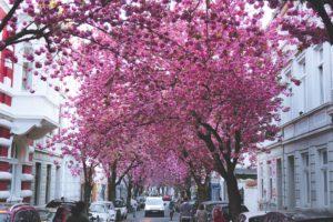 Was ist die Bonner Kirschblüte?